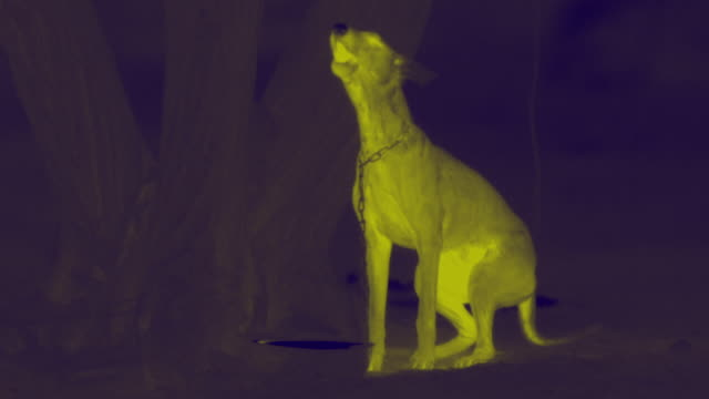 thermal image of guard dog, india. - 科学写真技術点の映像素材/bロール