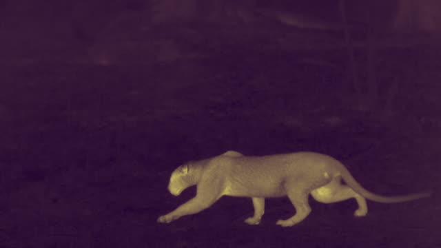 thermal image of leopard, sri lanka. - sri lanka stock videos & royalty-free footage