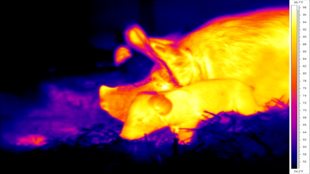 Thermographic of piglets and sow