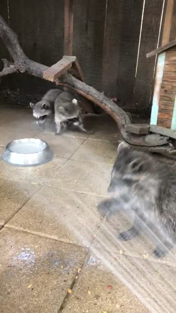 these adorable orphaned baby raccoons clearly enjoy being sprayed by the hose. how cute is that?! - orphan stock videos & royalty-free footage