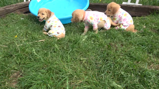 vídeos de stock e filmes b-roll de these are golden retriever puppies and they among the fluffiest and cutest creatures on the planet. they live in a beautiful home that is run by... - raça pura