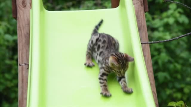 these bengal kittens love having fun in their backyard jungle. owner perrine kennedy likes to let the cats play and explore their surroundings for... - domestic garden stock videos & royalty-free footage