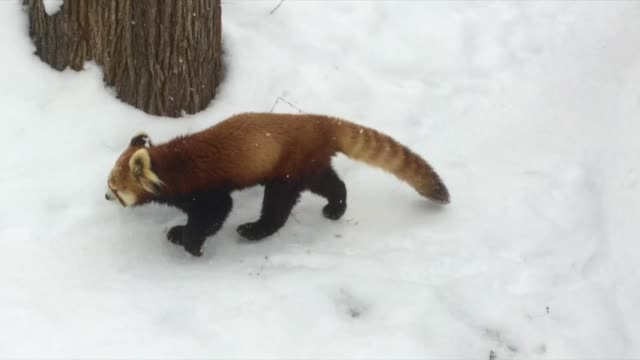 these cute red pandas each got an apple to eat. however, when one of them finishes early he goes to steal the other apple from his buddy! typical... - panda stock-videos und b-roll-filmmaterial