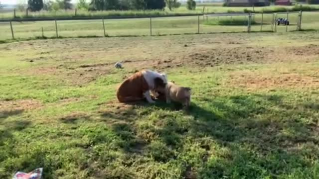 these english bulldog puppies playing with their mother is just so precious to witness. enjoy! - witness stock videos & royalty-free footage
