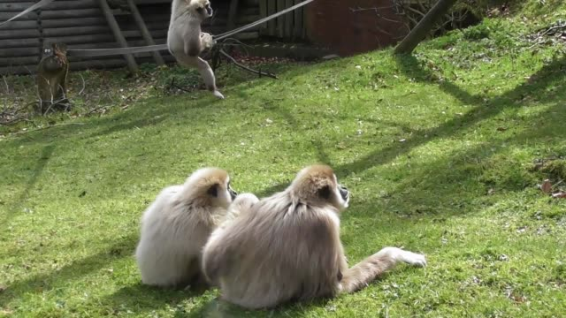 these funky gibbons just love their playtime at the dudley zoo in the west midlands, england. there are so energetic and funny with their long arms... - west midlands stock videos & royalty-free footage