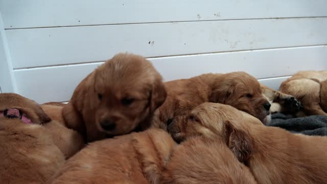these golden retriever puppies are 5 weeks old. check it out as they adorably climb over each other during nap time. cuteness overload! - week stock videos & royalty-free footage