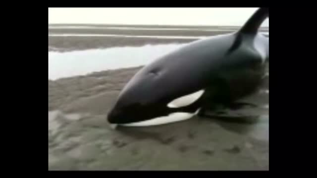 these killer whales beached themselves while hunting for seals on a sandbar south of prince rupert. captain doug davis and debbie davis went out to... - 浜辺に打ち上げられた点の映像素材/bロール
