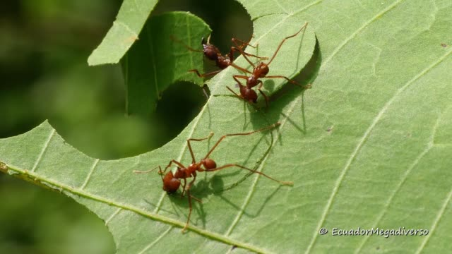 these leafcutter ants from the amazon rainforest of ecuador dissect a leaf with their strong mandibles and carry the pieces to their colony's fungus... - symbiotic relationship stock videos & royalty-free footage