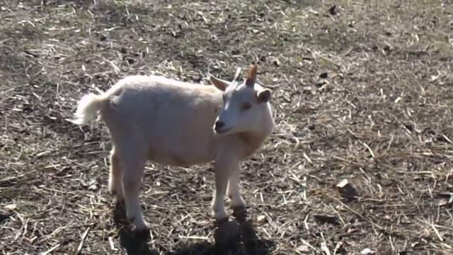 these little guys will surely bring a smile to your face. you can always count on goats to make the strangest sounds! - ヤギ点の映像素材/bロール