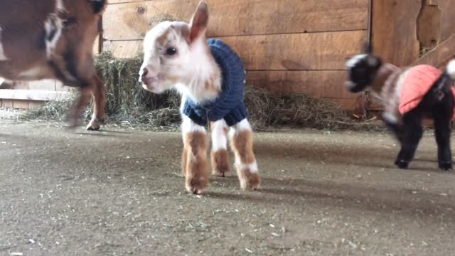 vidéos et rushes de these littles cuties are the first goats to arrive this spring at the sunflower farm creamery in maine. they're barely a day old and they're already... - mignon