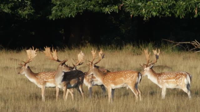 HD video male fallow deer bucks in early autumn
