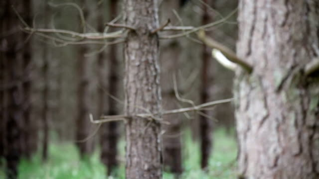 thetford forest uk pine trees rack focus - pine woodland stock videos & royalty-free footage
