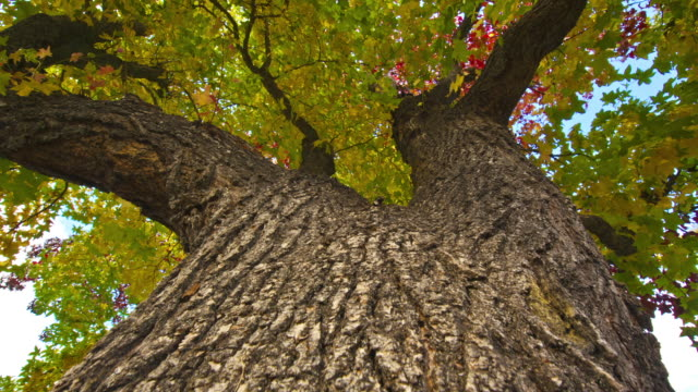 thick bark covers a massive autumn tree. - bark stock videos & royalty-free footage