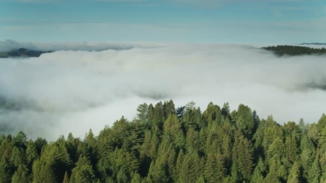 vídeos de stock, filmes e b-roll de névoa grossa na floresta do redwood-antena - sequoia sempervirens