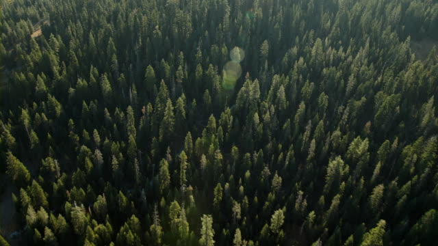 thick forest of conifers, aerial view. - coniferous tree stock videos and b-roll footage
