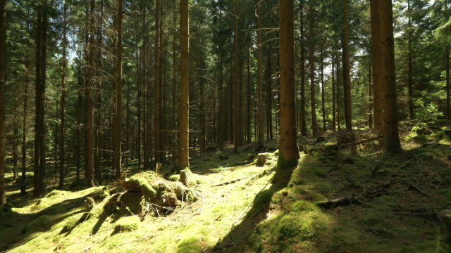 thick green pine tree forest in sweden - solitude stock videos & royalty-free footage