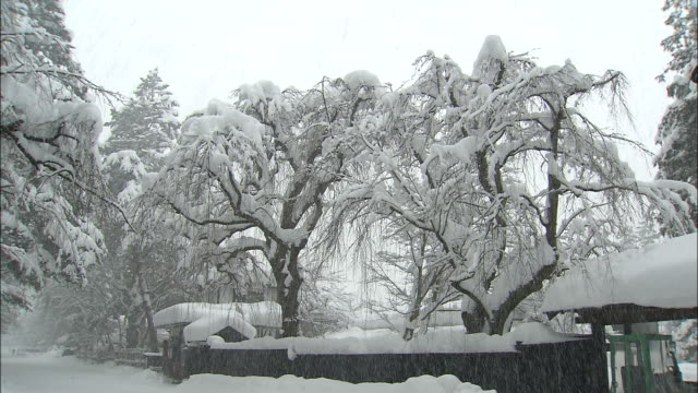 Thick snow falls on weeping cherry trees in garden of traditional Bukeyashiki samurai house