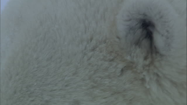 thick white fur covers the ears and face of a polar bear. - animal hair video stock e b–roll