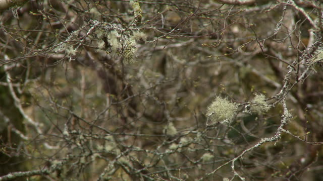 thicket of leafless branches with lichen - bare tree stock videos & royalty-free footage