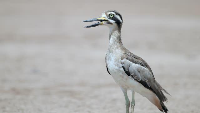 厚い膝の鳥:大人グレート太い膝や偉大な石カール(エサカスrecurvirostris)。 - シギ科点の映像素材/bロール