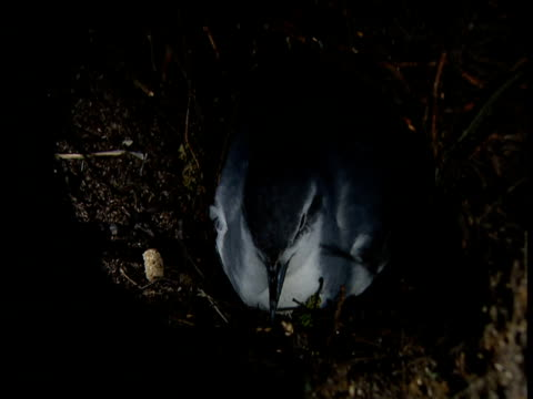"vidéos et rushes de thin billed prion (pachyptila belcheri) sits on nest, falkland islands - ""bbc natural history"""