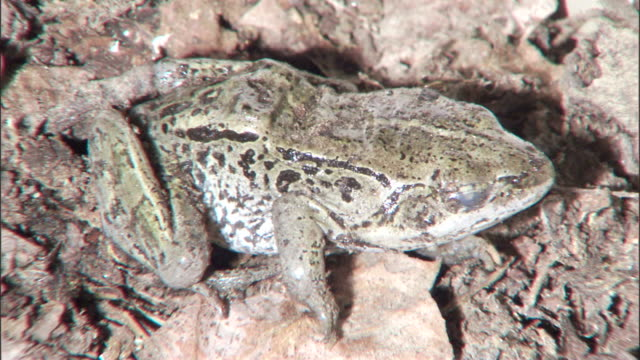 a thin layer of ice coats a spotted frog. - frozen stock videos & royalty-free footage