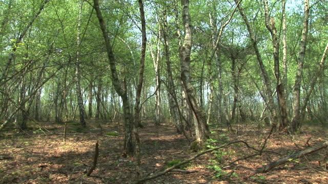 stockvideo's en b-roll-footage met hd: thin trees - berk