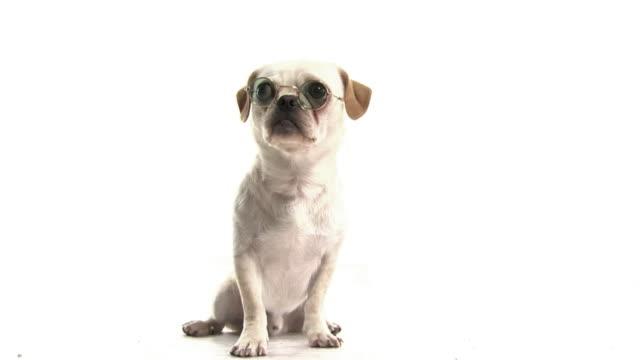 thinking dog .. - plain background stock videos & royalty-free footage