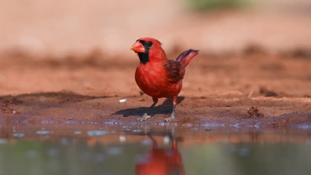 thirsty male cardinal - southwest usa stock videos and b-roll footage