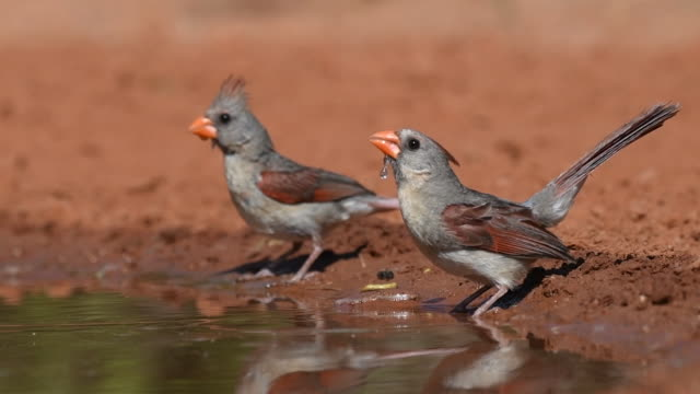 Thirsty Pair of Female Cardinals