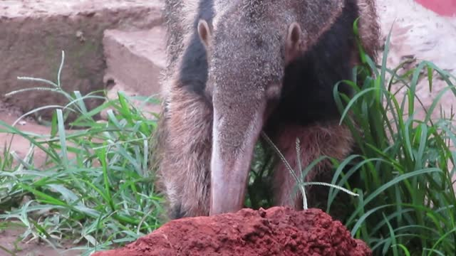 this adorable 6-month-old rescued anteater lost her mother when she was very young and had to be rescued and hand-raised, which means getting... - アリクイ点の映像素材/bロール