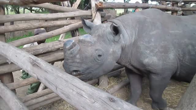 this adorable black rhino spent the day roaming around http://www.imirevolunteers.org/ imire rhino and wildlife conservation , and is one happy... - wildlife conservation stock videos & royalty-free footage