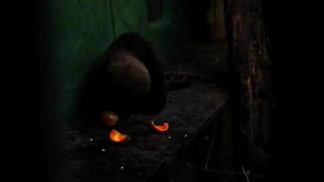 this adorable young tayra had to be rescued, so now he depends on his caretakers to feed him. animals in captivity need neural and physical... - animals in captivity stock videos & royalty-free footage