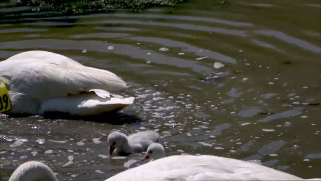 this baby swan, or cygnet is adorable as he watches his mother and father stirring up the mud at the bottom of the pond so that they can eat the... - 白鳥の子点の映像素材/bロール
