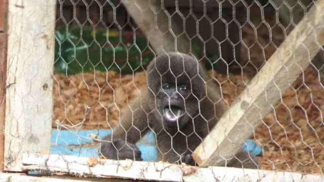 this baby woolly monkey has lost her mother and now lives at a rescue center. primates in general are extremely social animals, and the babies need... - foster care stock videos & royalty-free footage