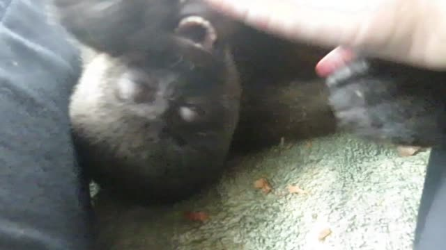 this baby woolly monkey is an orphan and now lives at a rescue center. primates, in general, are extremely social animals, and the babies need to be... - orphan stock videos & royalty-free footage