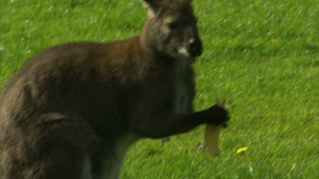 This clip contains black gaps third party content removed VOICED Residents in Gloucestershire are being warned not to approach a wallaby which is on...