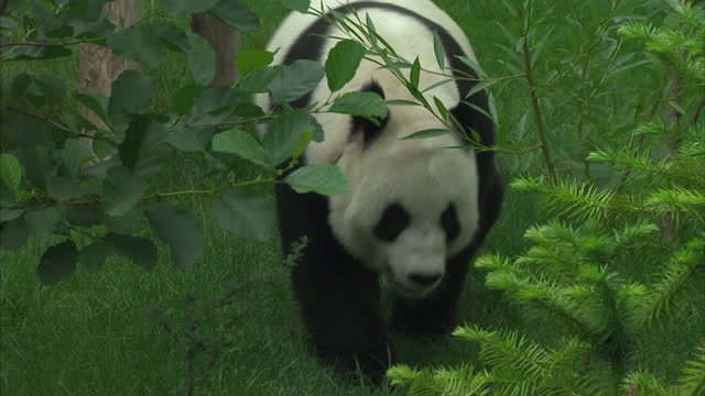 This clip contains black gaps third party content removed VOICED Edinburgh zoo has believed one of its inhabitants Tian Tian is pregnant for at least...