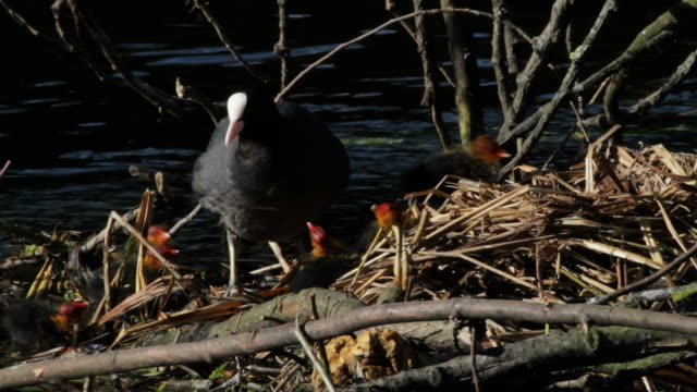 HD video six chicks begging for food from mother coot