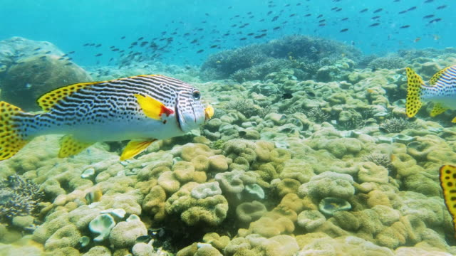 this creature brings color everywhere it travels - sweetlips stock videos & royalty-free footage