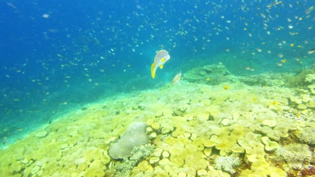 this creature's striking features make it standout everywhere it travels - sweetlips stock videos & royalty-free footage
