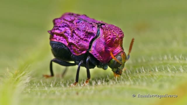 this cute and colorful little beetle looks this way because they are supposed to mimic caterpillar droppings, which gives them an advantage in the... - invertebrate stock videos & royalty-free footage