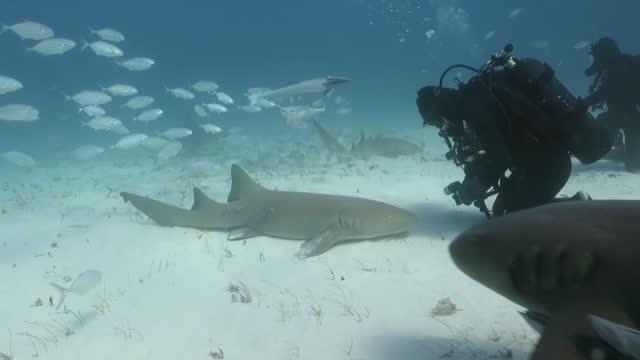 vídeos y material grabado en eventos de stock de this diver was able to get up close and personal with some nurse sharks when underwater, off the coast of bimini, in the bahamas. the shark stayed... - bimini