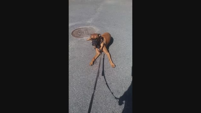 """""""this dog wanted to go for a walk instead of a drive, so he makes his point by lying down in the middle of the street. what a baby!in this sweet... - working animals stock videos & royalty-free footage"""