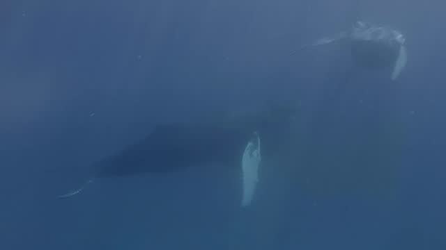 this fortunate diver encountered two humpback whales when he went underwater off the coast of the turks and caicos islands in february 2016. he... - turks and caicos islands stock videos & royalty-free footage