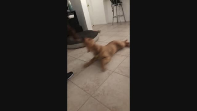 vídeos de stock e filmes b-roll de this golden retriever helps clean the floors while playing a game with its owner. how cute is that? - retriever
