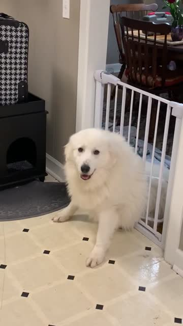 this great pyrenees tries to squeeze through cat door in the gate, but instantly realizes it was a bad mistake. epic fail! - mistake stock videos & royalty-free footage