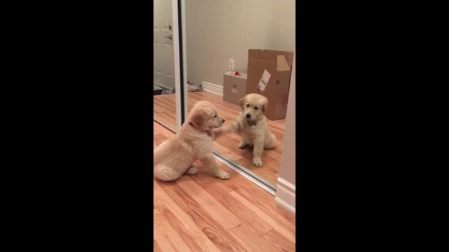 this is milo's first time experiencing a mirror and we can interpret his reaction in two ways. earlier that day he had a reunion with his golden... - occurrence stock videos & royalty-free footage