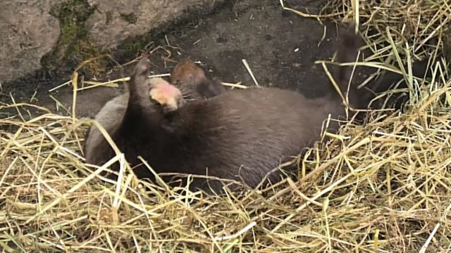 this is the adorable asian short-clawed otter, also called the oriental small-clawed otter from the twycross zoo in england. coming out of his den he... - threatened species stock videos & royalty-free footage
