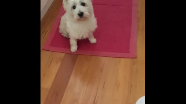 """this is the adorable moment when one intelligent pooch has smartly learned how to ring a bell whenever he wants food. what a clever pup!sometimes... - intelligence stock videos & royalty-free footage"